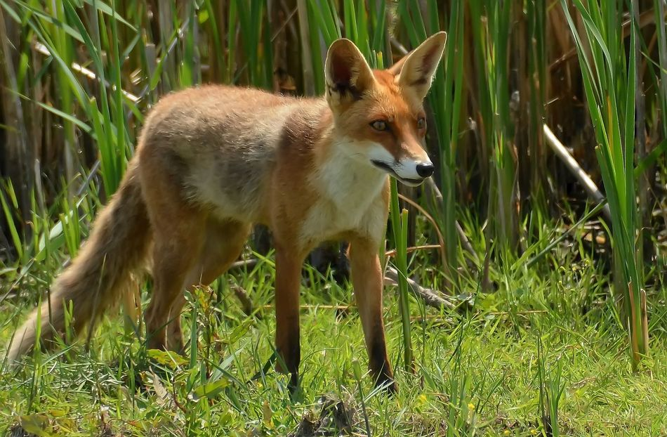 Beautiful stock photos of fox, Alertness, Animal Themes, Animals In The Wild, Brown