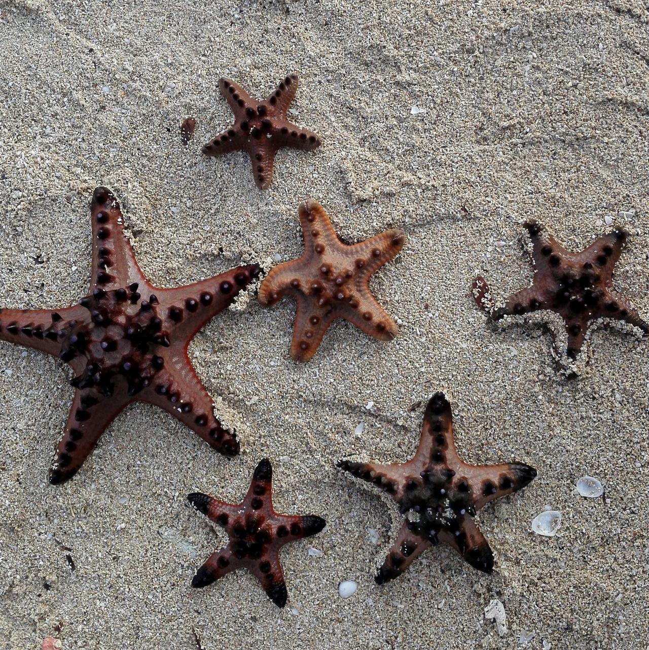 Starfish  Starfish At Beach Starfishes Zambales Magalawa Island Sand Beach Shore Outdoors Sea Life Philippines Photography Sea No People