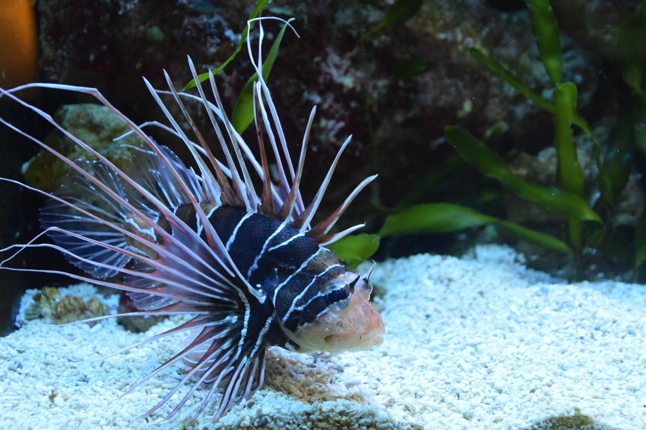 lionfish Animal Themes Animal Wildlife Animals In The Wild Aquarium Beauty In Nature Close-up Day Lionfish Nature No People One Animal Outdoors Sea Sea Life Swimming UnderSea Underwater Water