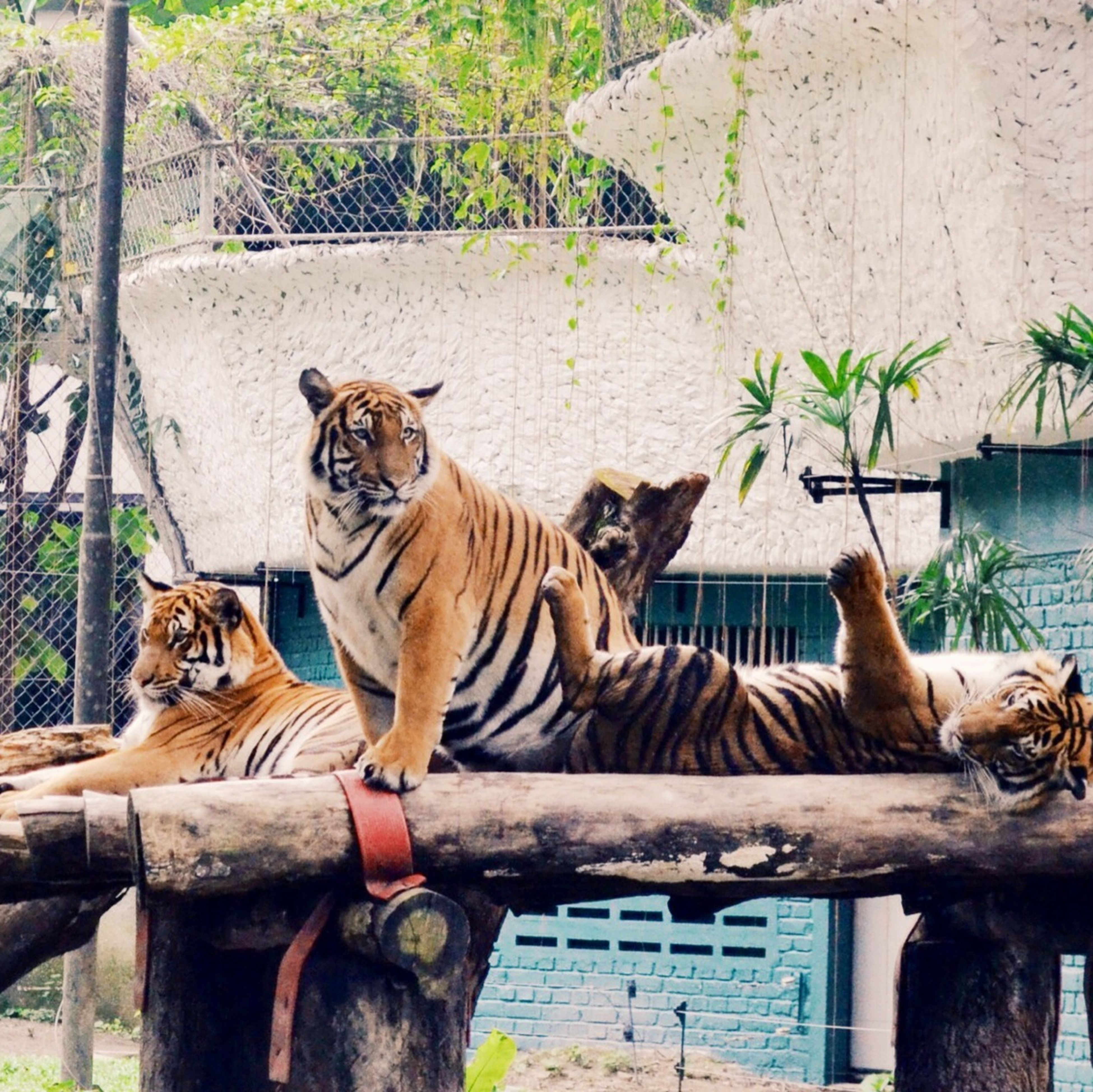 animal themes, mammal, domestic animals, one animal, two animals, standing, plant, looking at camera, fence, side view, portrait, grass, outdoors, day, herbivorous, animal markings, zoology, relaxation, no people, togetherness