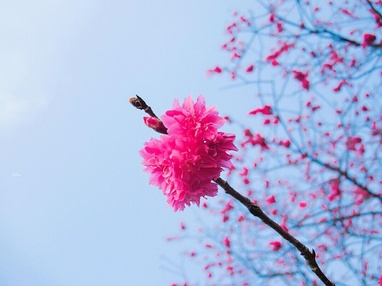 Red Nature Flower One Animal Animal Themes Fragility Beauty In Nature Growth Pink Color Freshness Outdoors Close-up Day No People Plum Blossom Insect Pollination Flower Head Cheeryblossom Spring Cherry Blossoms Check This Out Taiwan Iseetaiwan