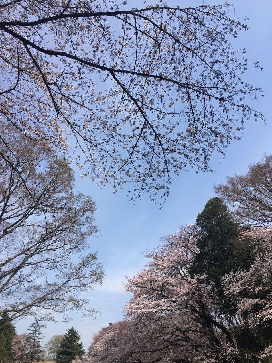 Cherry Blossoms Kinuta Park
