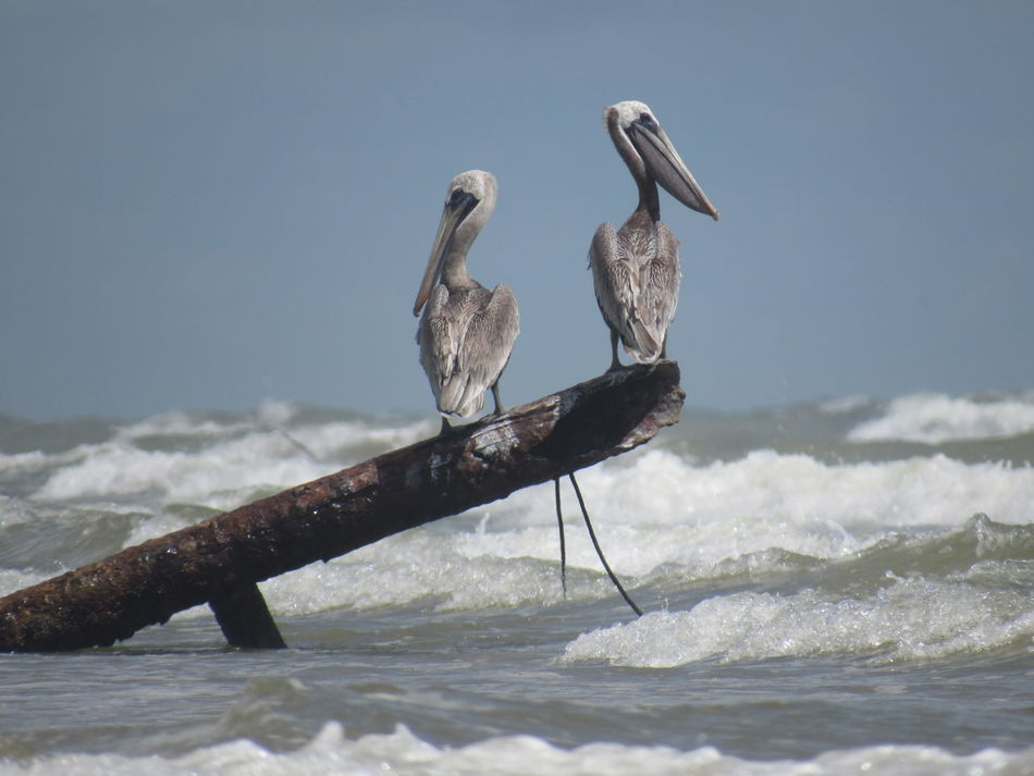 Perching Pelicans Adult Birds Beauty In Nature Big Birds Blue Sky Driftwood Fish Divers Focus On Foreground Gulf Of Mexico Log Long Beak Ocean View Residential  Selective Focus Tranquility Two Is Better Than One Watching Waves, Ocean, Nature Zoology