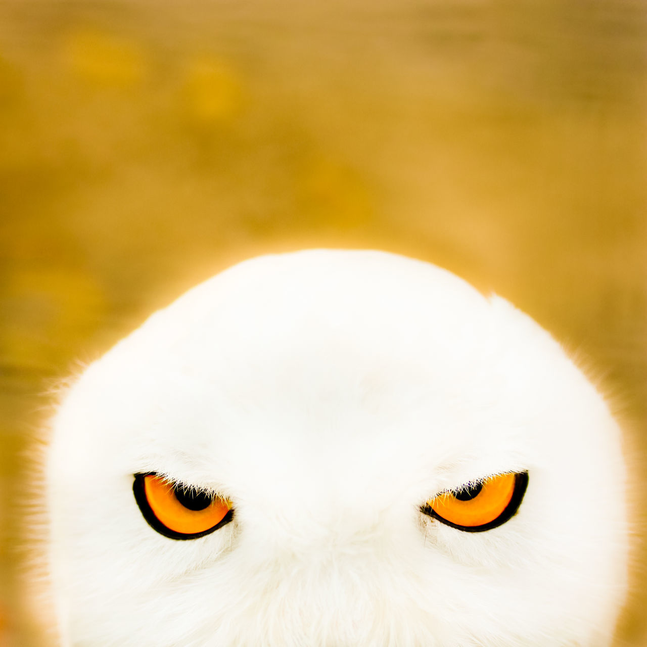 Animal Themes Animals In The Wild Bird Birds Eyes Blurred Background Close-up Copy Space Day Eyes Looking Looking At Camera No People One Animal Orange Eyes Outdoors Owl Owl Eyes Portrait Sharp Eyes Snow Owl Strict Look White White Feathers Yellow Yellow Eyes