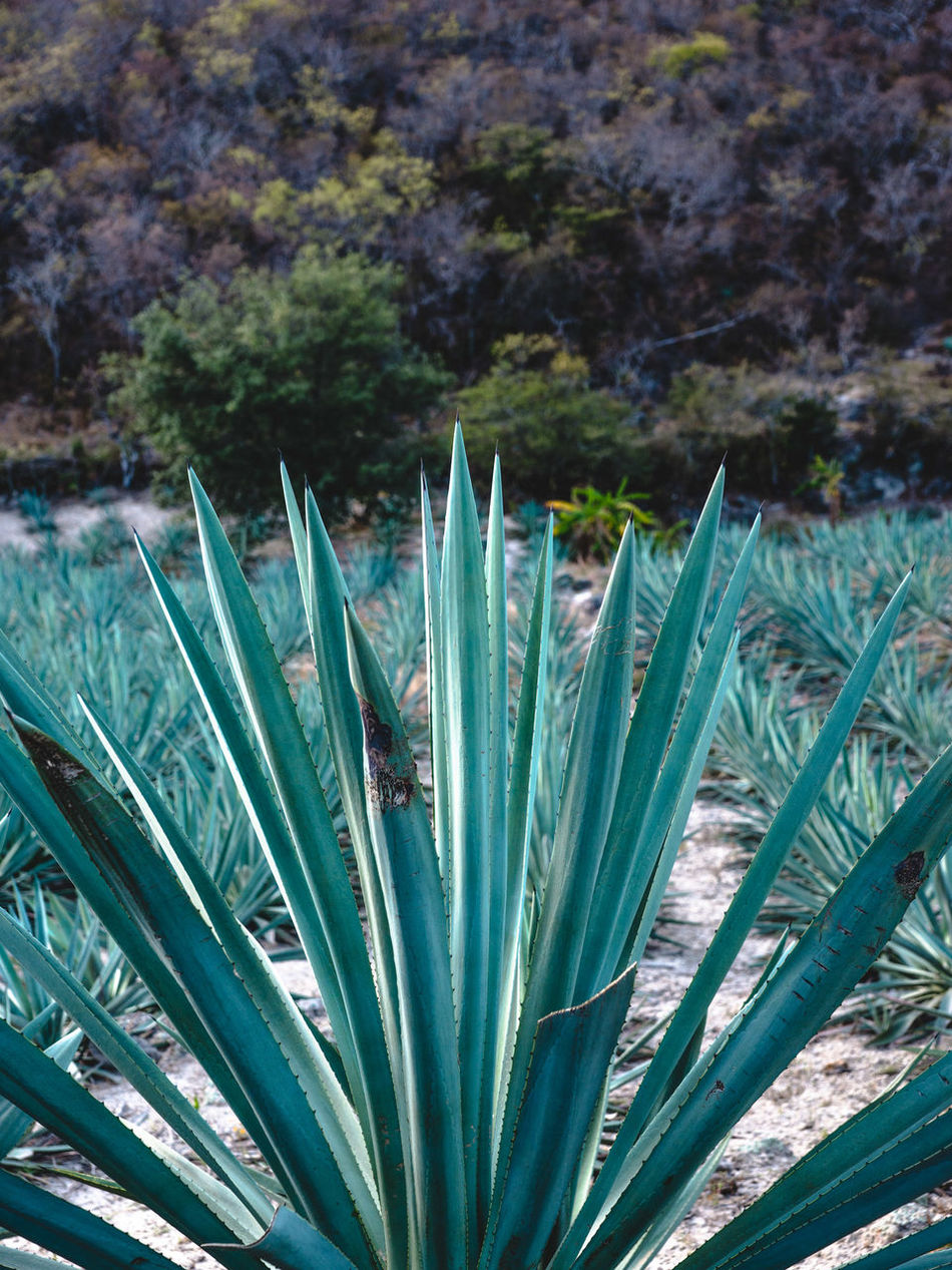 Agave Beauty In Nature Blue Cactus Close-up Day Grass Green Color Growing Growth Idyllic Mexico Mezcal Nature Nature_collection No People Oaxaca Outdoors Plant Scenics Stem Tranquil Scene Tranquility Travel Travel Photography