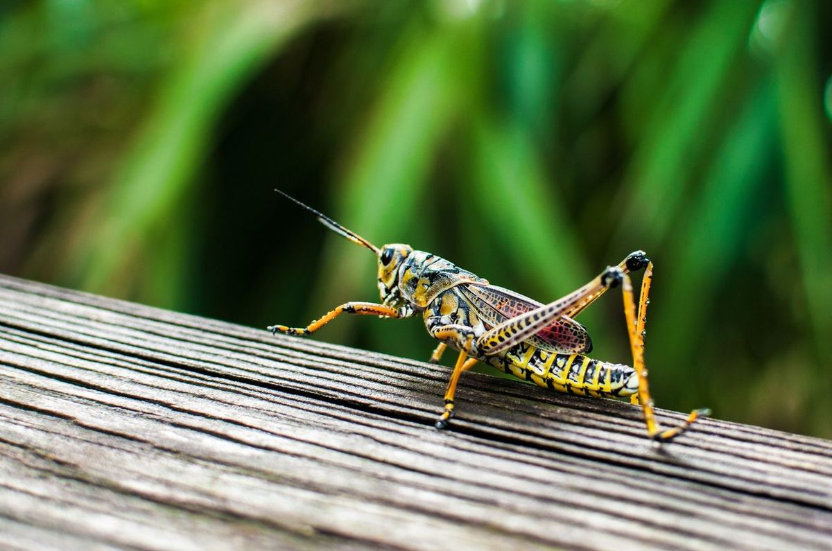 Grasshopper Animal Wildlife Insect Animals In The Wild Animal Themes One Animal No People Close-up Outdoors Day Nature Photography Beauty Is In The Eye Of The Beholder Beauty In Nature Walking Around Taking Pictures Green Color Artistic Photography Luis Daniel Photography Nature Low Angle View Tranquil Scene Photographylovers Majestic Nature