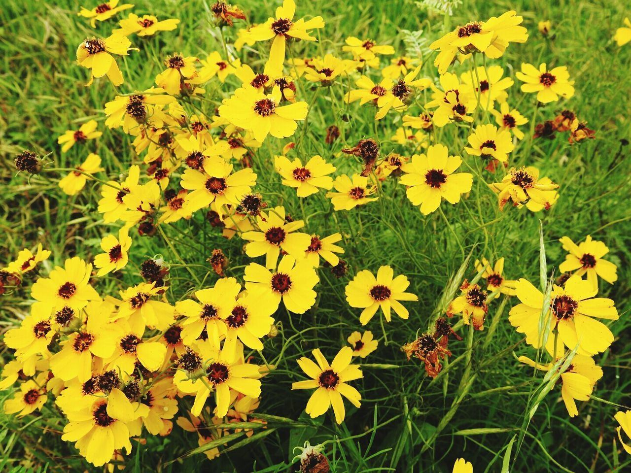 Wild Daisy Field Natural Color
