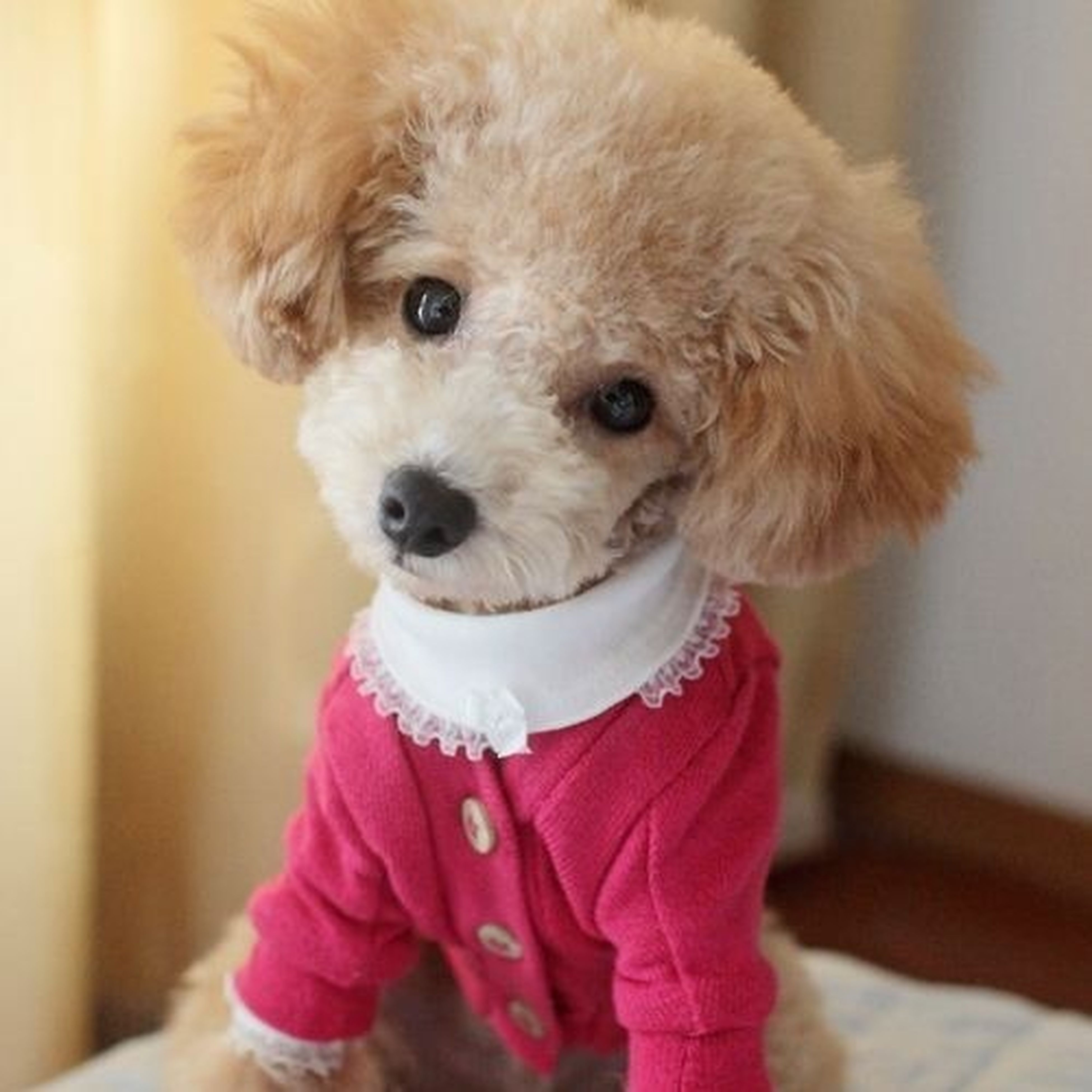 pets, dog, indoors, one animal, focus on foreground, cute, animal themes, portrait, looking at camera, domestic animals, innocence, childhood, lifestyles, holding, front view, standing, leisure activity