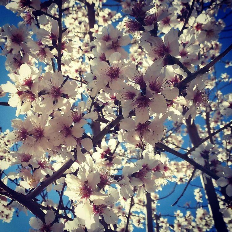 Almendro En Flor Almendro Flor Flowers Arboles , Naturaleza árbol Frutal Fruto Seco Blanco Rosa