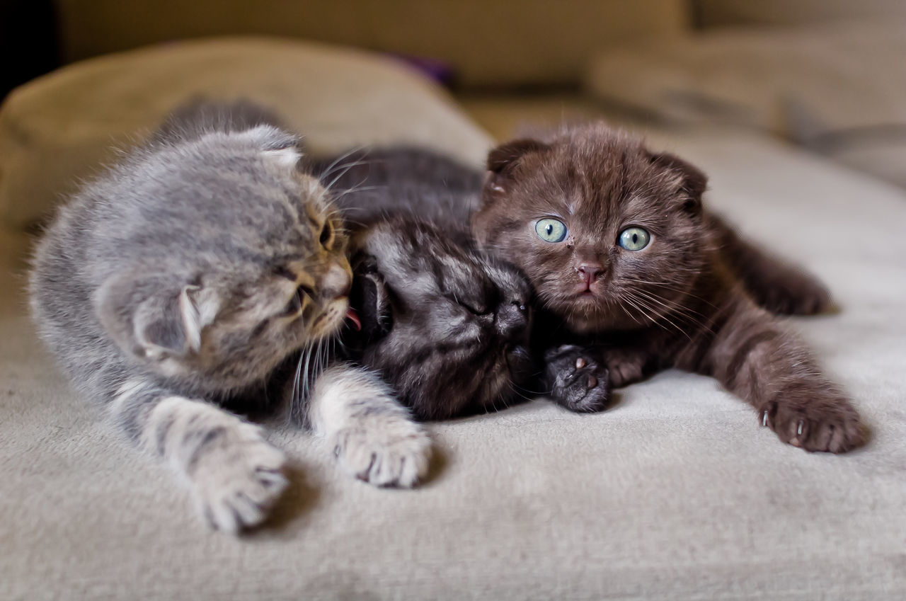 Animal Themes Bed Close-up Day Domestic Animals Domestic Cat Feline Indoors  Kitten Looking At Camera Lying Down Mammal No People One Animal Pets Portrait Relaxation Whisker