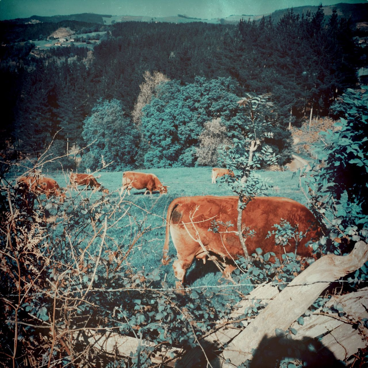 Nature Cows Rural Scene Grassfield Sunny Day Spring Mountains Beauty In Nature Animals In The Wild