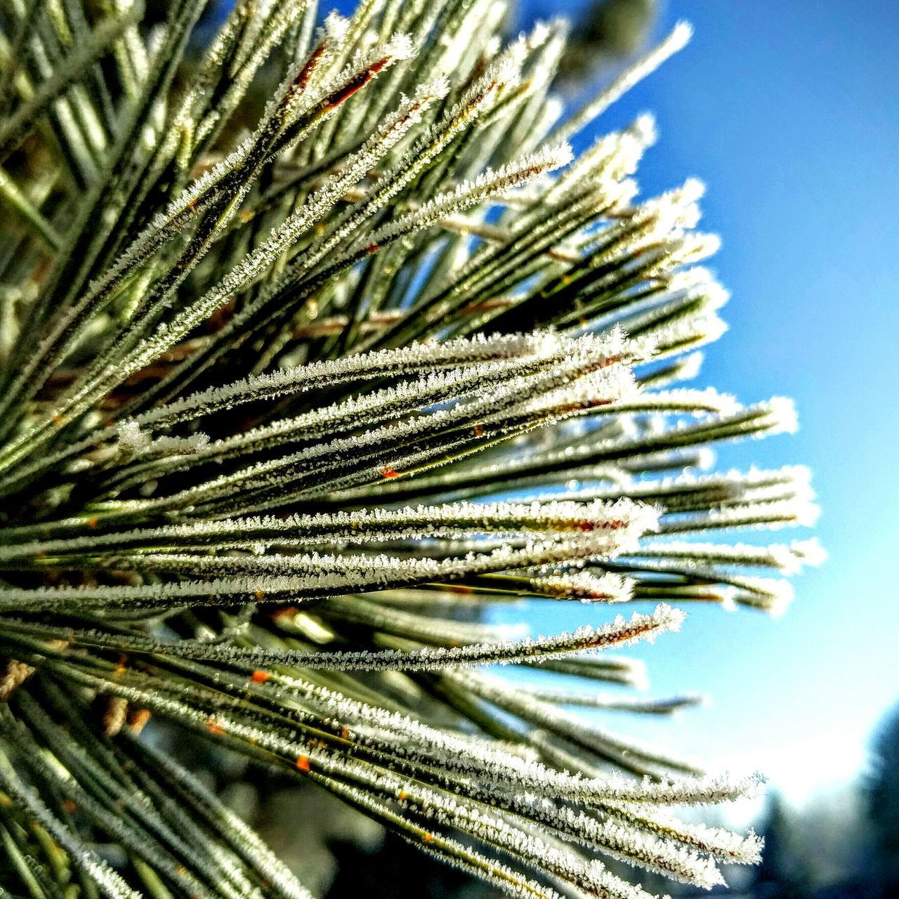 nature, pine tree, focus on foreground, no people, needle, day, beauty in nature, growth, close-up, outdoors, tree