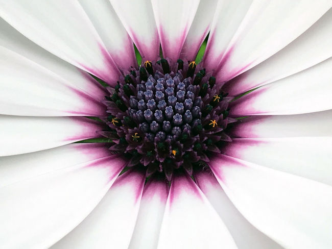 Osteospermum daisy, close up African Daisy Backgrounds Beauty In Nature Blooming Cape Daisy Close-up Day Flower Flower Head Fragility Freshness Full Frame Growth Nature No People Osteospermum Outdoors Petal Pink Color Plant Pollen