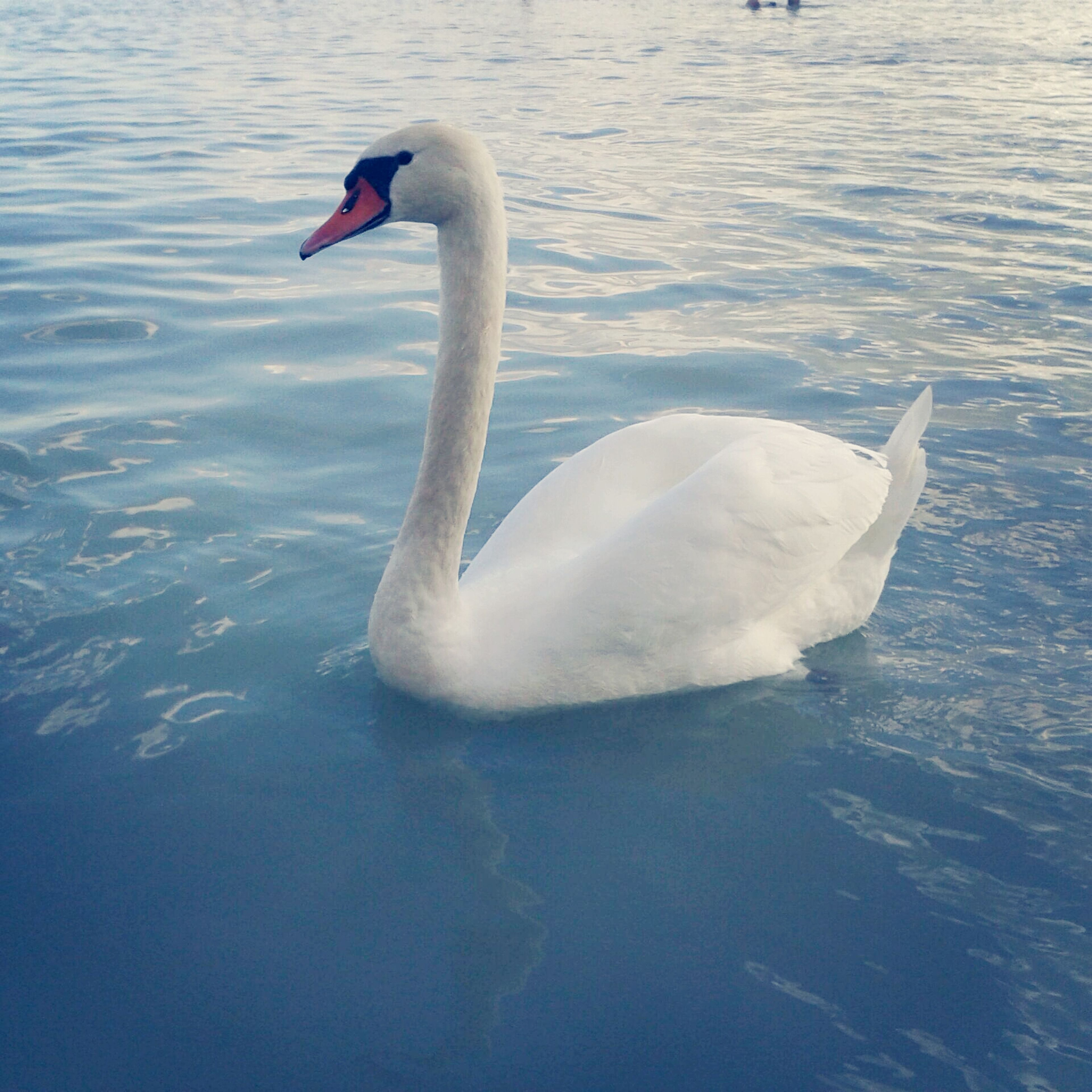 animal themes, bird, water, animals in the wild, wildlife, swan, lake, swimming, white color, waterfront, rippled, reflection, one animal, nature, water bird, two animals, beak, beauty in nature, outdoors, floating on water