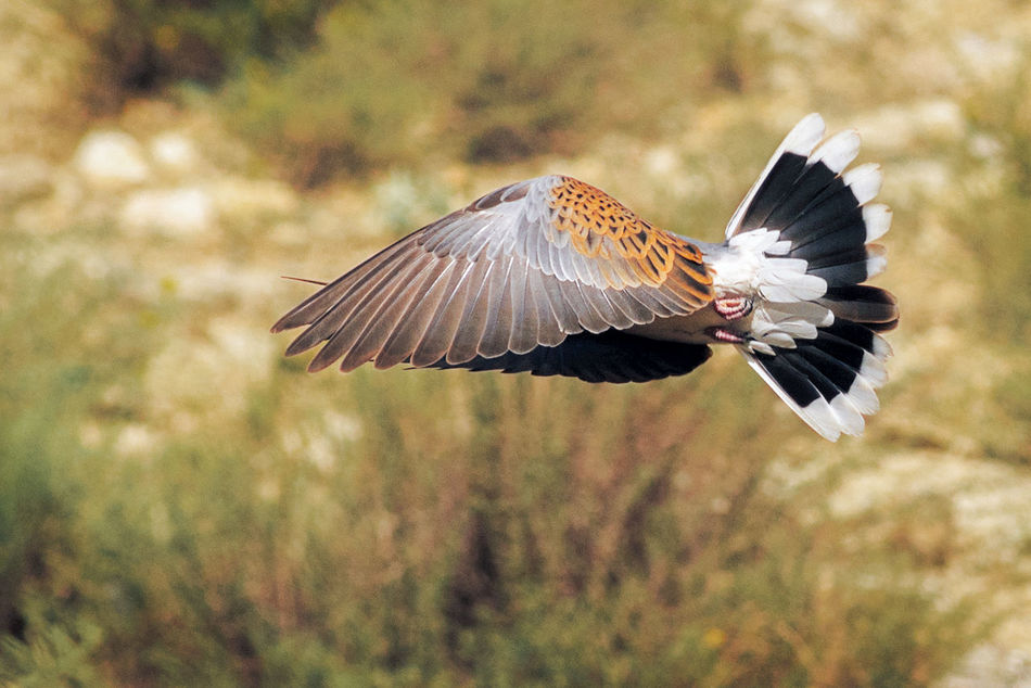 Animal Wing Ave Aves Beauty In Nature European Turtle Doves Flight Flying Flying Animals Naturaleza Nature Nature No People Outdoors Tortola Turtle Dove Tórtola Europea Wild Wildlife Wildlife & Nature Wing Wings Bird Birds
