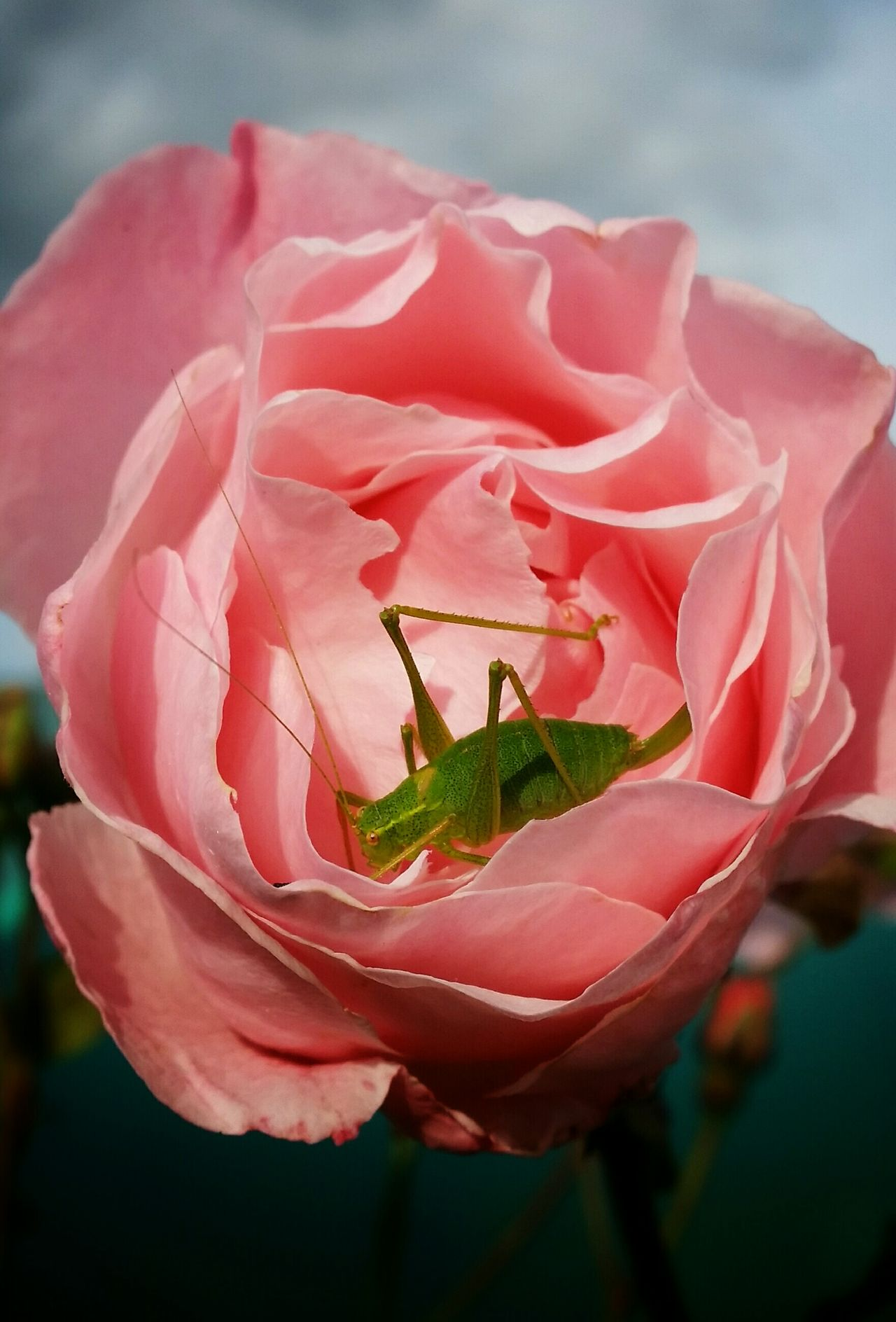 'Beauty and the Wee Beastie' Rose🌹 Crickets EyeEm Nature Lover Flowerporn Flower Collection Tadaa Community Insect Photography Natural Pastel Colors Pastel Power Pastel
