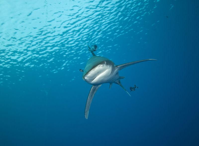 Oceanic white tip shark Carcharhinus Longimanus Nature Ocean Oceanic Oceanic Shark Oceanic White Tip Shark Red Sea Sea Life Surface UnderSea Underwater Water