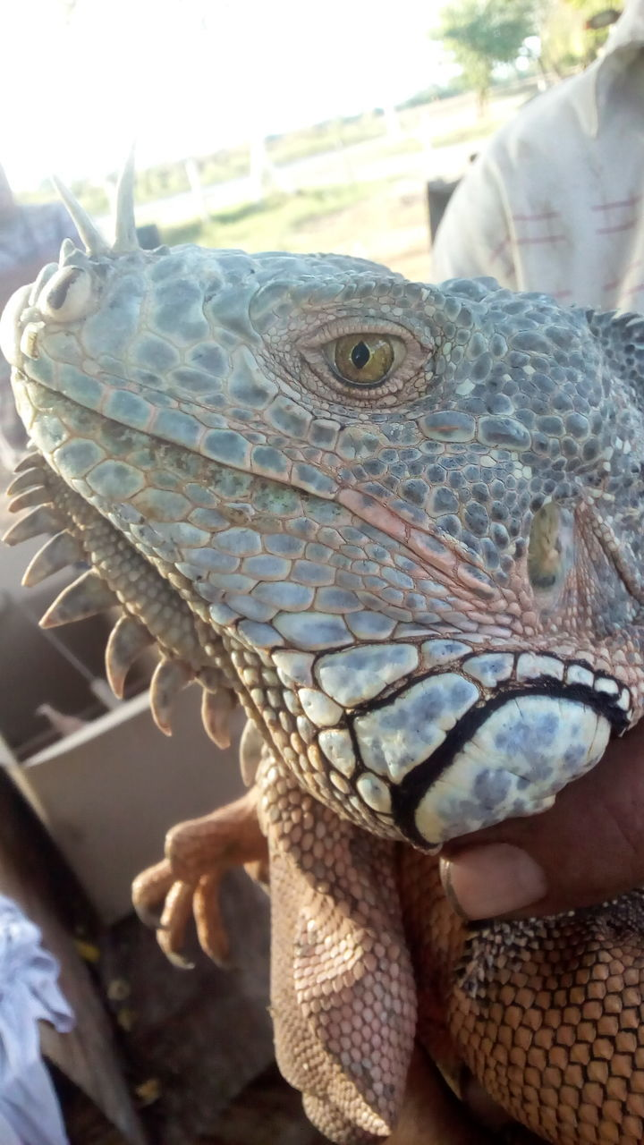 one animal, reptile, animal themes, animals in the wild, lizard, human hand, animal wildlife, real people, day, bearded dragon, close-up, human body part, one person, outdoors, nature