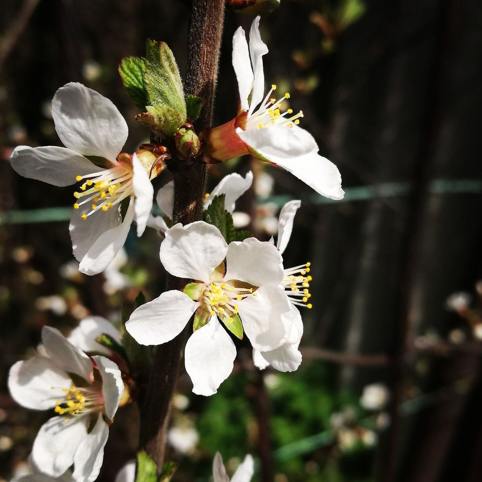 Flower Fragility Growth Beauty In Nature White Color Nature Petal Close-up No People Freshness Springtime Blossom Plant Day Flower Head Tree Outdoors Branch Animal Themes Apricot April Apricot Tree Bloom Blooming Flower Blooming In Spring spring