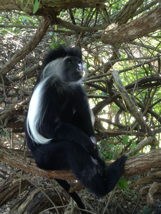 Colobus watching football on kenyan TV