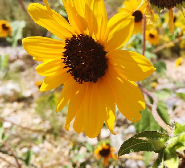 New Mexico Sunflower Paint The Town Yellow