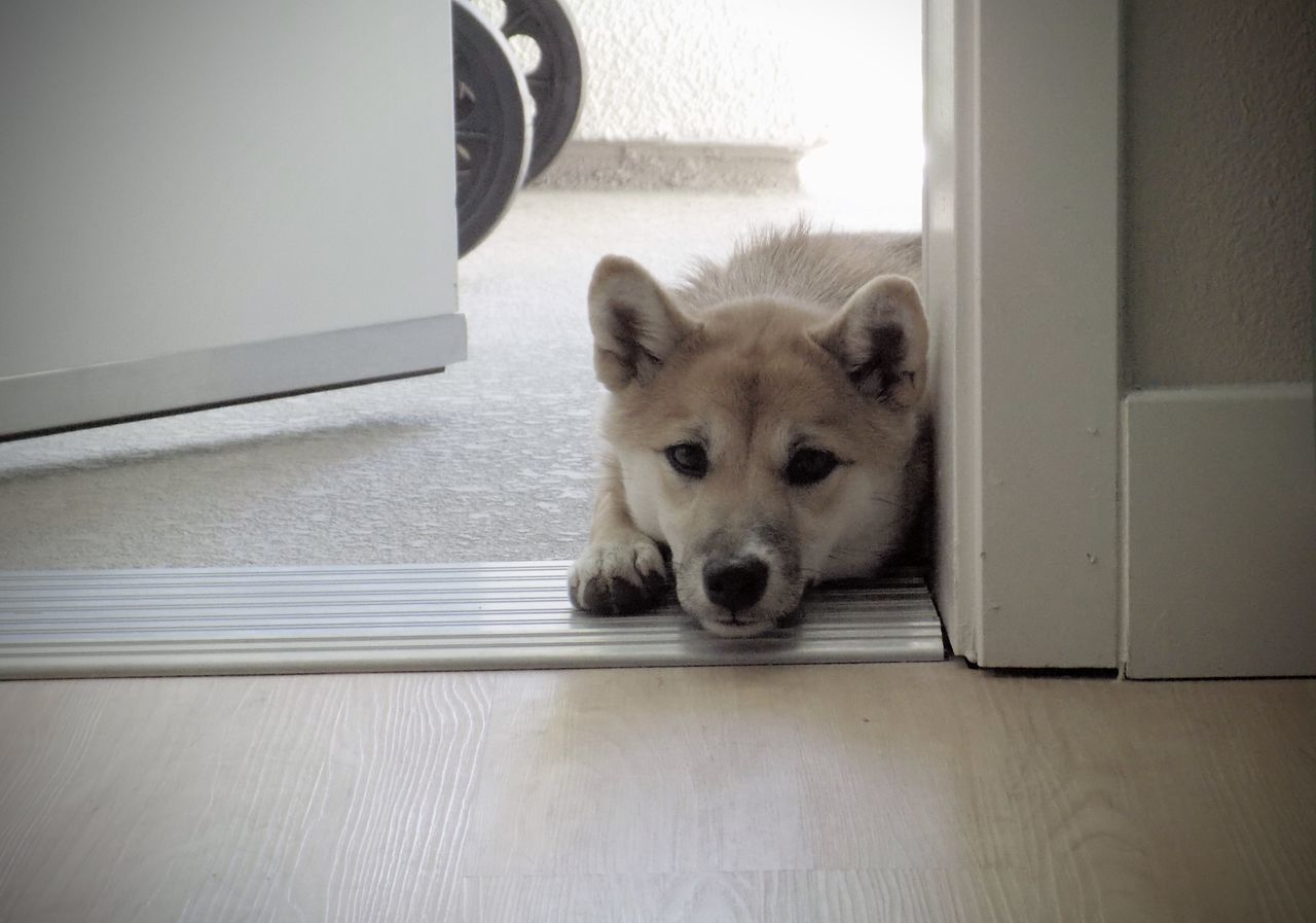 In or Out? Cute Dog Domestic Animals Door Doorway Ears Fuzzy Home Love Mammal No People Open Door Paws Pets Portrait Puppy Red Shiba Relaxation Shiba Inu Shiba Inu Puppy Shiba Stare Staring Whisker