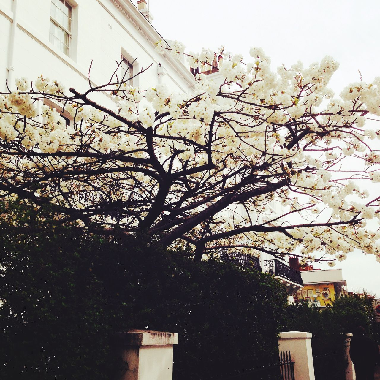 London Lifestyle Chelsea Cherry Blossoms Spring 💐🌺