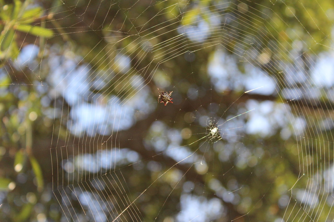 spider, spider web, one animal, animal themes, nature, animals in the wild, insect, web, focus on foreground, close-up, animal wildlife, day, outdoors, no people, fragility, beauty in nature