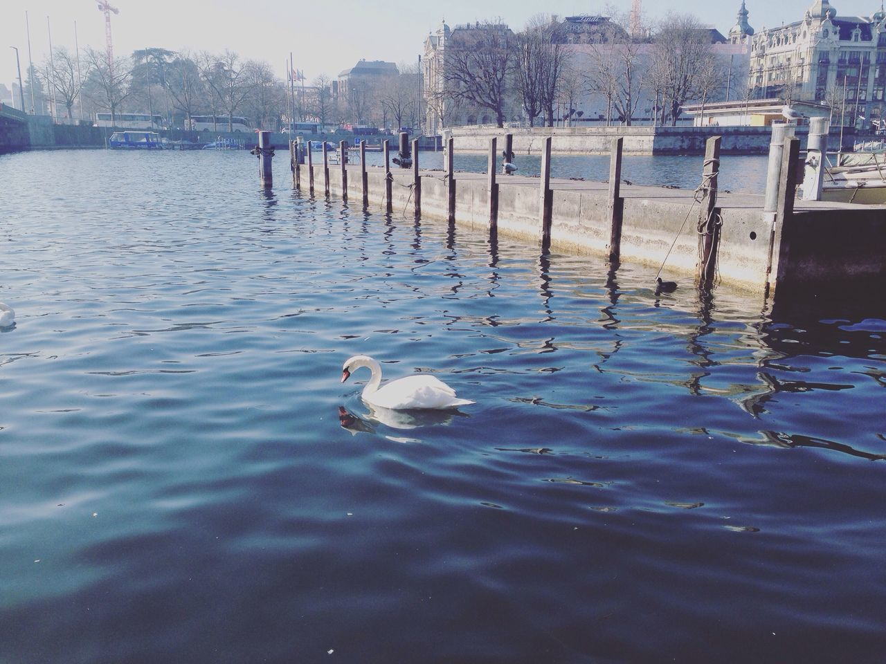 water, swan, animal themes, bird, animals in the wild, lake, swimming, water bird, day, white color, no people, one animal, nature, animal wildlife, outdoors, architecture, tree