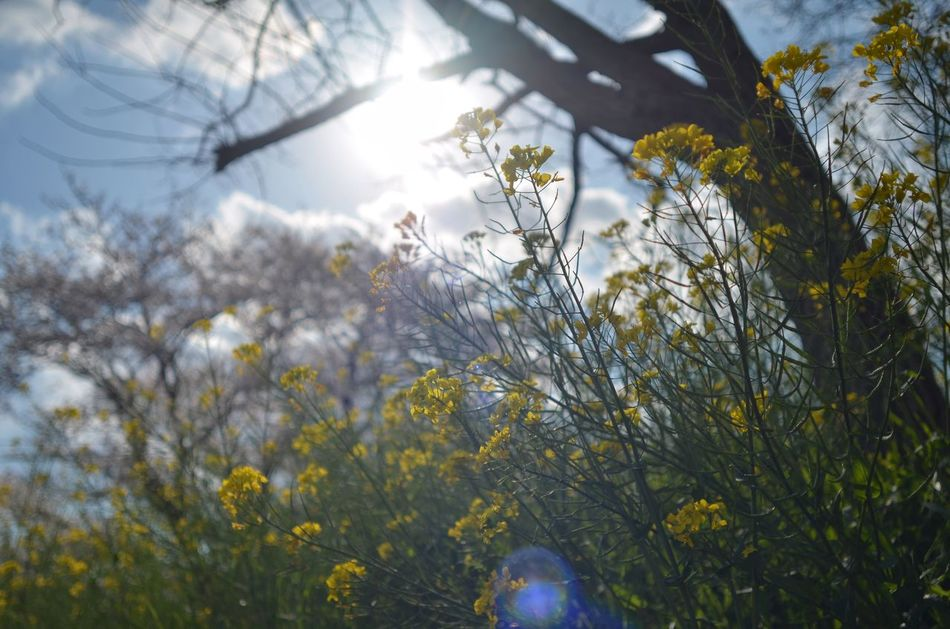Sunshine ☀ Canola Flowers Plants 🌱 Spring Flowers Springtime Low Angle View Taking Photos From My Point Of View Glitch Lens Flare Nature Photography Beauty In Nature EyeEm Nature Lover 菜の花