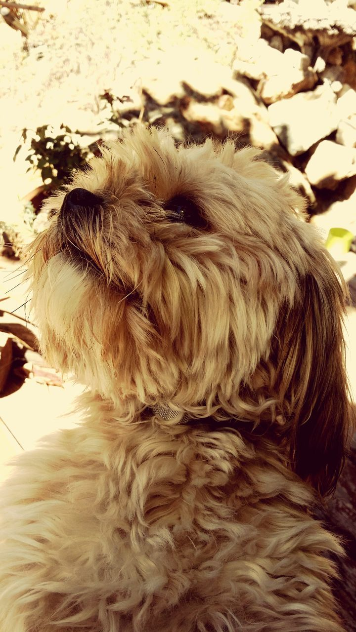 pets, dog, one animal, domestic animals, animal themes, animal hair, mammal, no people, indoors, close-up, relaxation, day