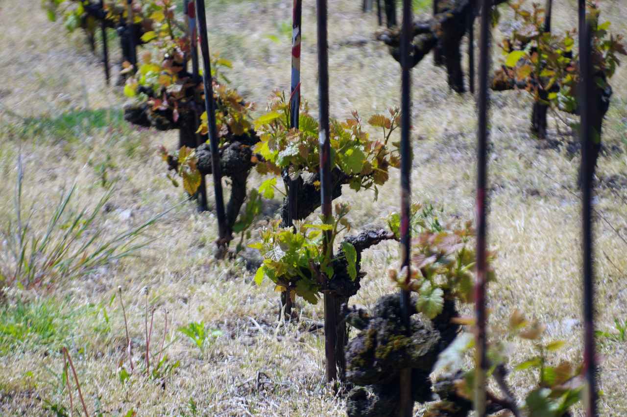 Growing vines in Lavaux Agriculture Agronomy Bio Chasselas Countryside Epesses Grapes Growing Growth Heritage Lake Lake View Lavaux Leman Lake Oenology Region Rivaz Switzerland Vines Vineyard Vineyard Cultivation Vintage Walking Wine