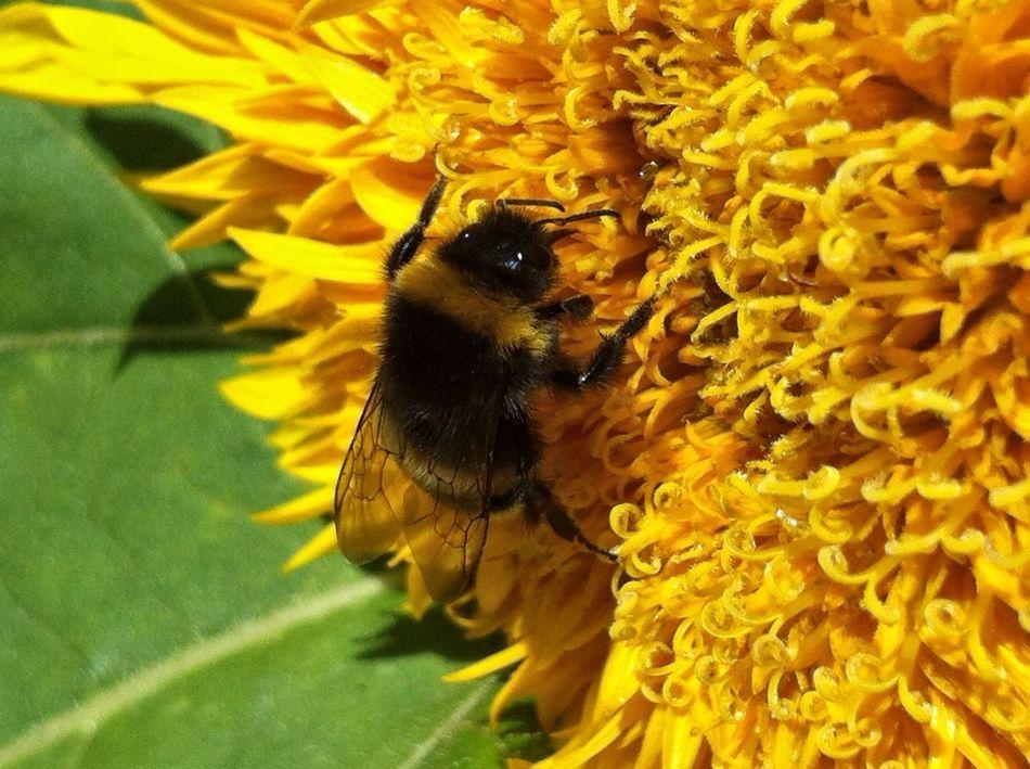 Planten Un Blomen Sunflower Bee Sunflowers Bees Sunflowers🌻 Close-up Macro Nature Jopesfotos - Nature Jopesfotos - Bestefotos