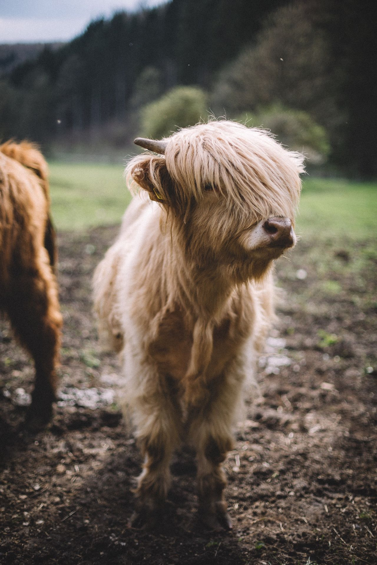 Beautiful stock photos of germany, Animal Head, Animal Themes, Cattle, Close-Up