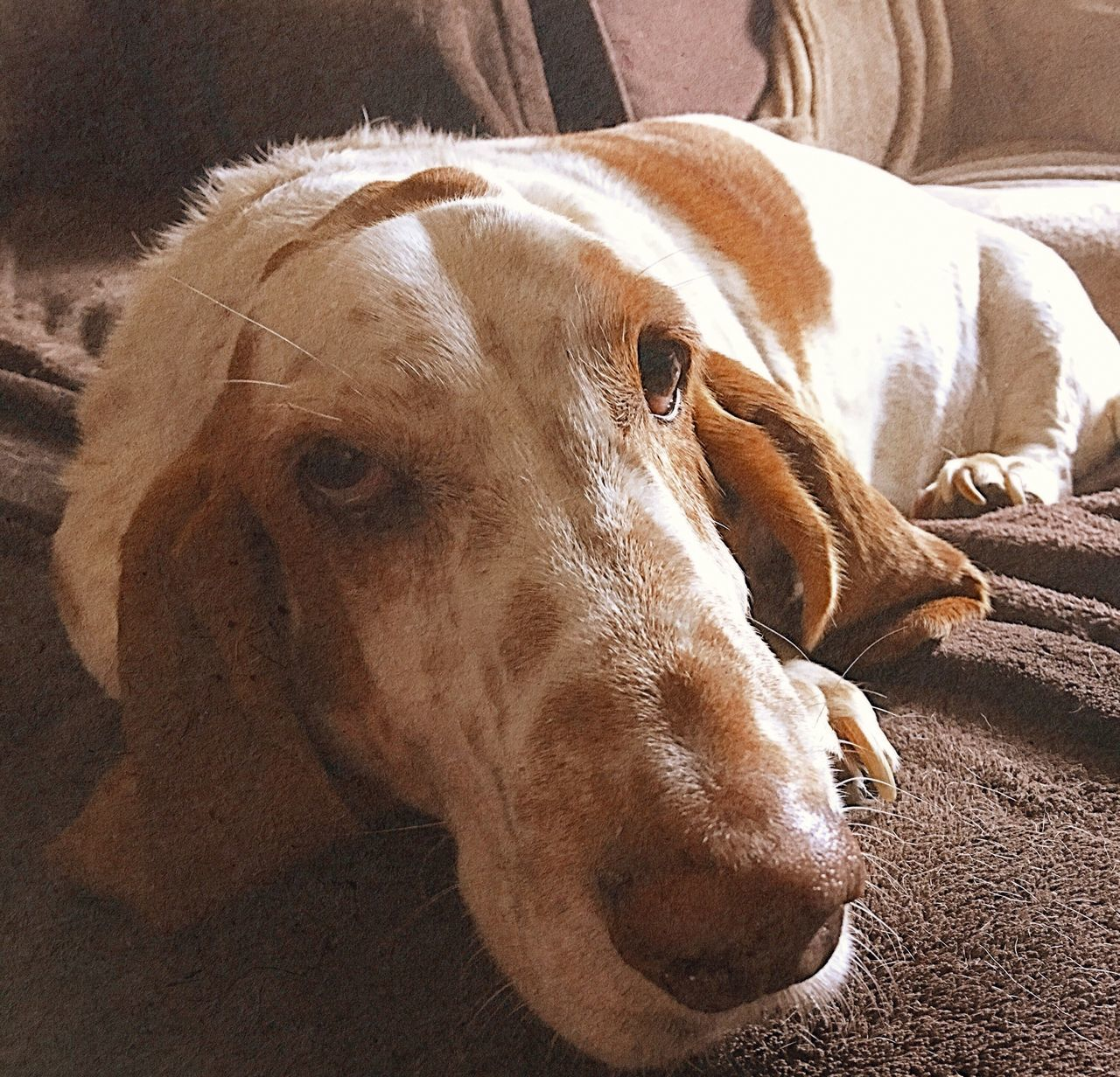 My little cuddle boy One Animal Close-up No People Iphonephotography Bassethound Moments Bassethoundsare Best Relaxeddoggie Pampered Pooch Rescuedbassethound RescuedIsMyFavoriteBreed Ilovemybassethound Portrait Looking At Camera Relaxedand Happy