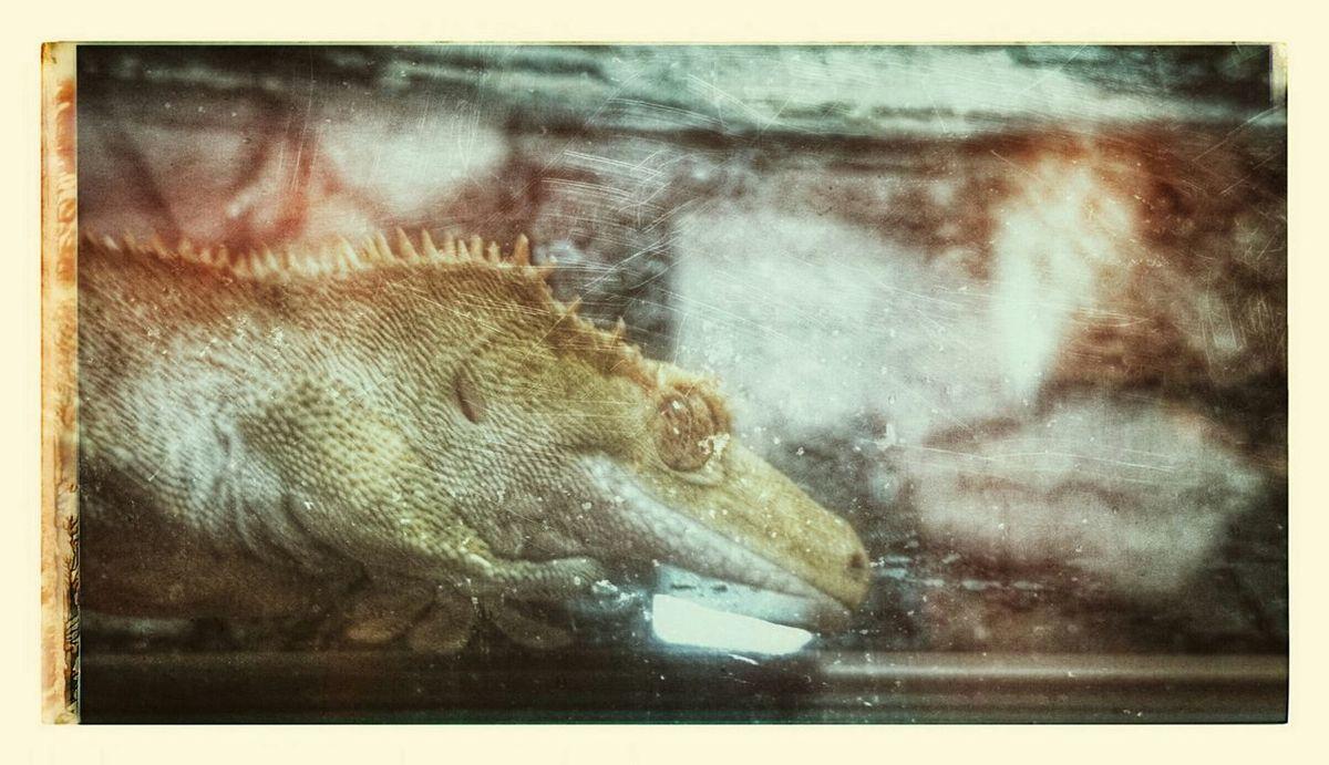 Haustier Kronengecko Crested Gecko Neukaledonien