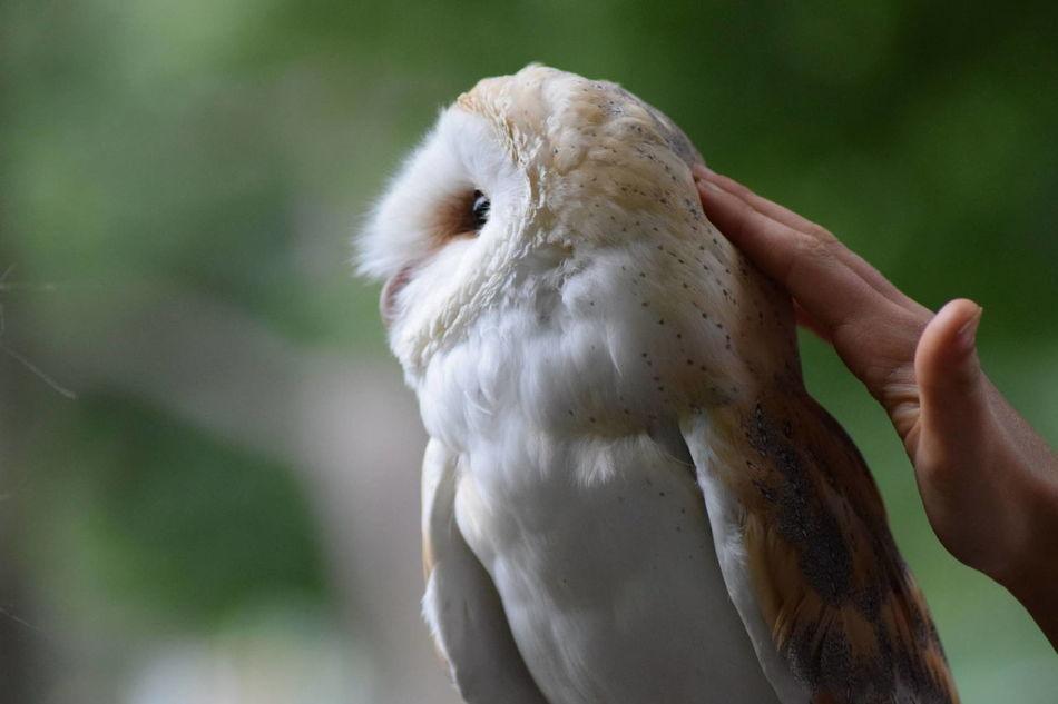 Beautiful stock photos of eule, Animal Themes, Animal Wildlife, Barn Owl, Bird