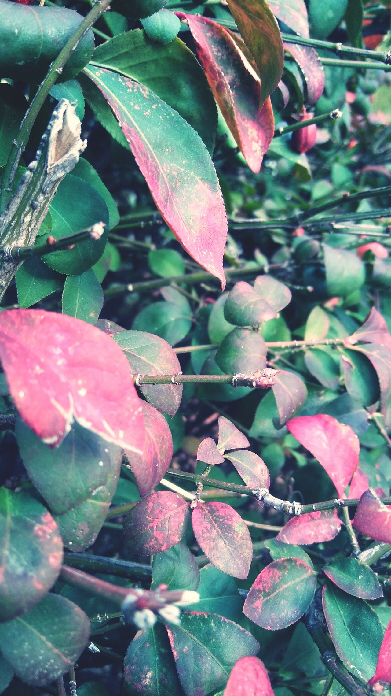Pink and green leaves Nature Growth Plant Beauty In Nature Leaf Freshness Close-up No People Outdoors Detail Seasonal Autumn Cold Winter Close Up Close-up Shot Close‐up Photography Autumn Leaves Season  Multi Colored Scenics Branch Pink Leaves Green Leaves Pink And Green