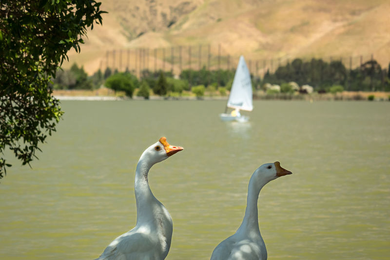 Sunday Gaggling Animals In The Wild Bay Area Bay Area Life Beauty In Nature Bird Focus On Foreground Fremont Geese Lake Lake View Lakeshore Lakeside Nature Outdoors Water