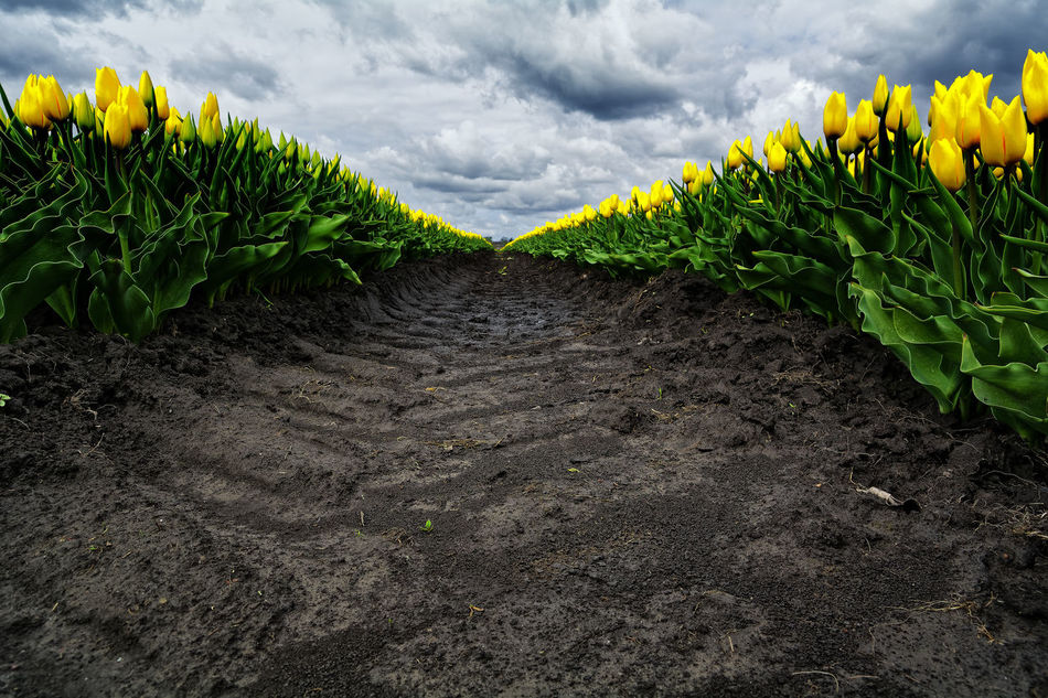 The Track Agriculture Cloud - Sky Clouds Dirt Farm Field Flower Freshness Green Color Growth In A Row Landscape Leaf Nature No People Outdoors Plant Life Rural Scene Springtime Tulips