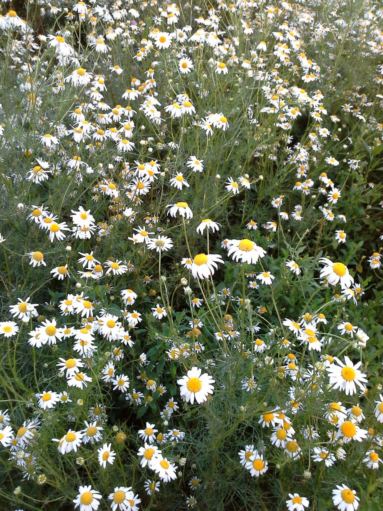 Ромашковая поляна!!! Camomile meadow!!! Camomile Meadow Nature_collection Nature Photography Naturally Me EyeEm Nature Lover EyeEm Best Shots - Nature Chamomile Field 🌼🌼🌼🌼🌼 Summer ☀