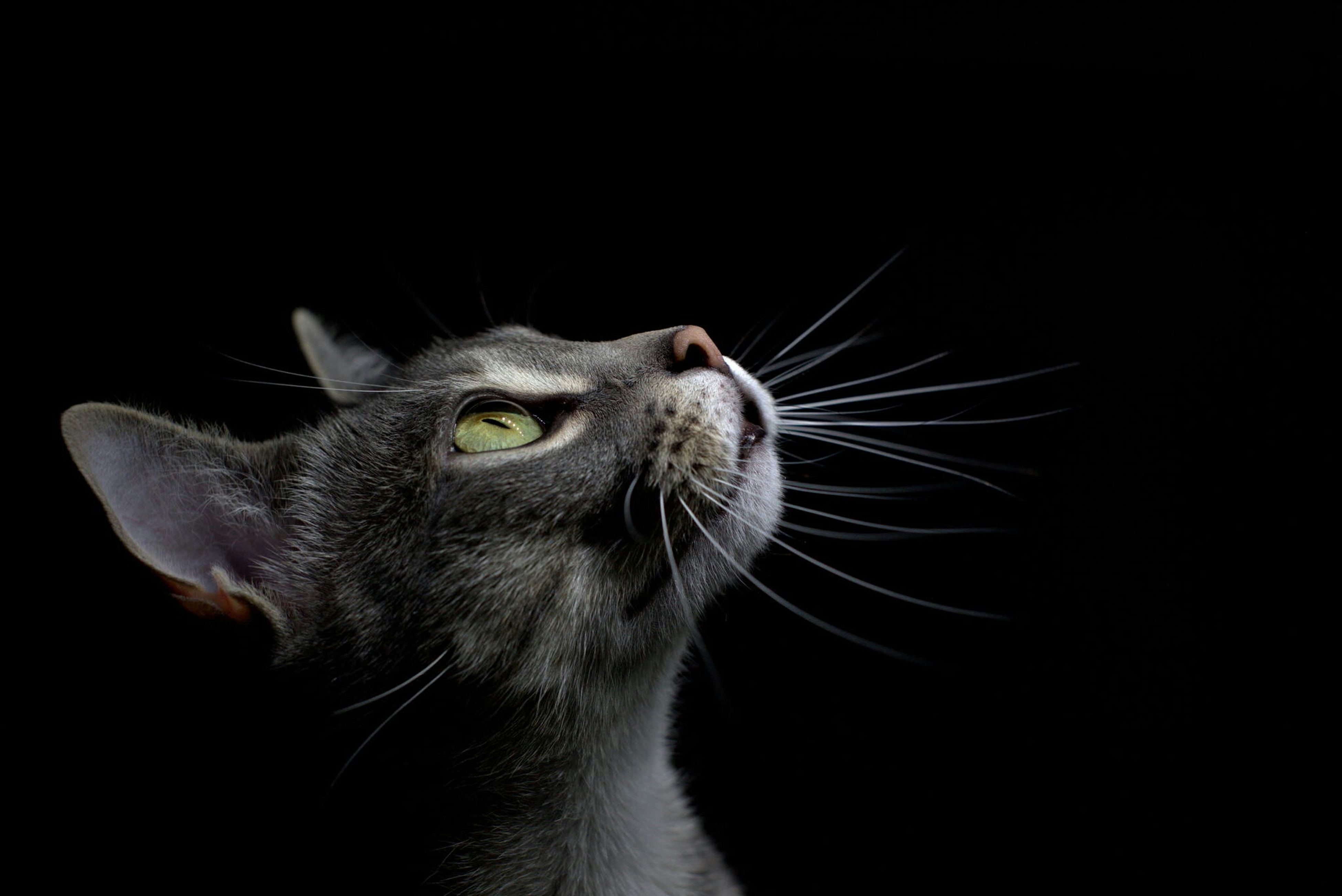 one animal, domestic cat, animal themes, mammal, domestic animals, cat, feline, pets, whisker, animal head, close-up, animal body part, looking away, black background, copy space, studio shot, part of, focus on foreground, side view, animal eye