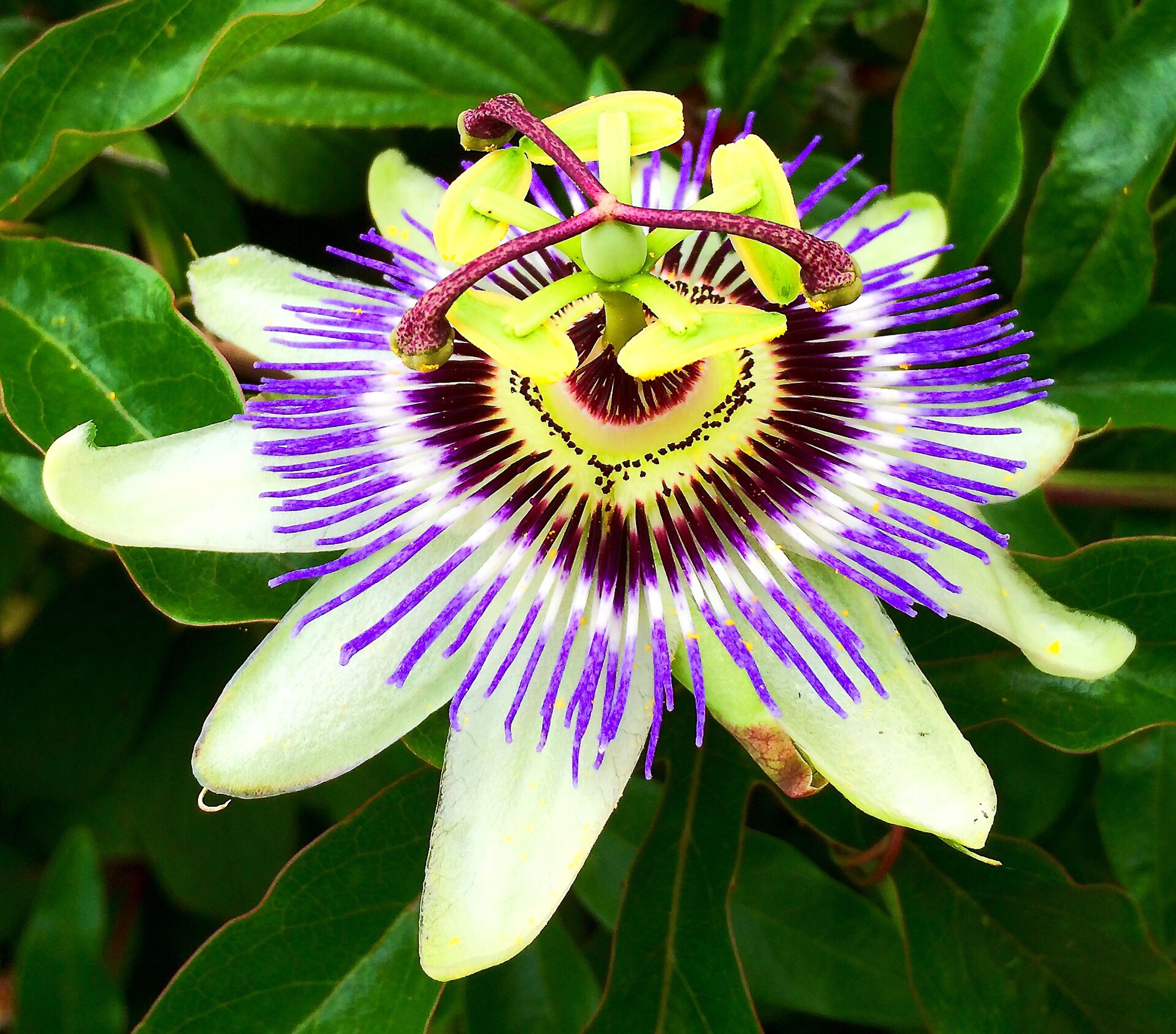 flower, freshness, fragility, petal, flower head, growth, passion flower, single flower, close-up, beauty in nature, leaf, plant, nature, stamen, in bloom, purple, pollen, green color, blossom, botany, macro, springtime, focus on foreground, day, pollination, growing, blooming