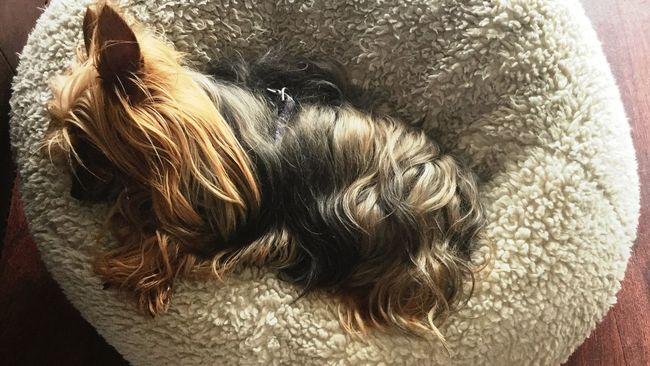 Yorkie Napping Dogs Nap Sleeping Dog
