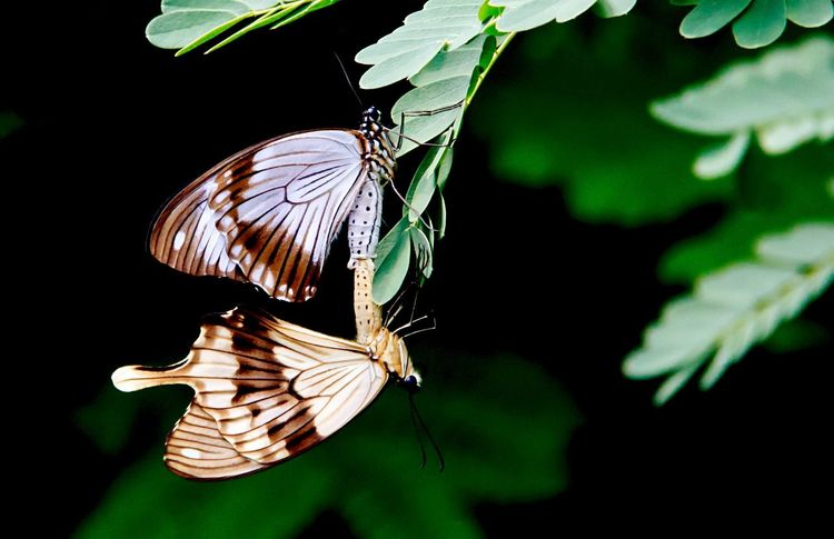 Sorry to Interrupt... Butterfly - Insect Insect Animal Wing One Animal Animal Themes Animals In The Wild Animal Wildlife Fragility Butterfly No People Close-up Spread Wings Perching Leaf Nature Outdoors Beauty In Nature Day Black Background Mating Mating Pair Of Insects