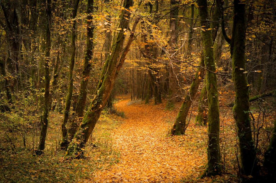 Forest in dordogne ( France) Autumn Brown Forest Landscape Leaves Nature Orange Color Wildlife Wood