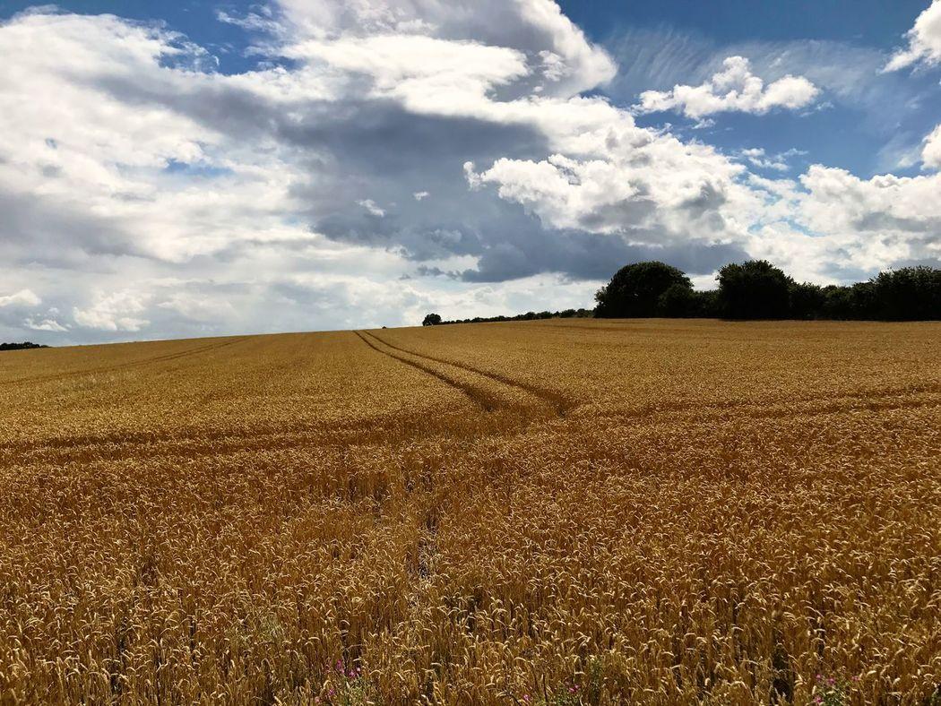 Field Of Gold Field Of Wheat Fields Of Gold Field And Sky Fieldscape Farmlandscape Farmland Farm Land Wheat Field Wheatfield