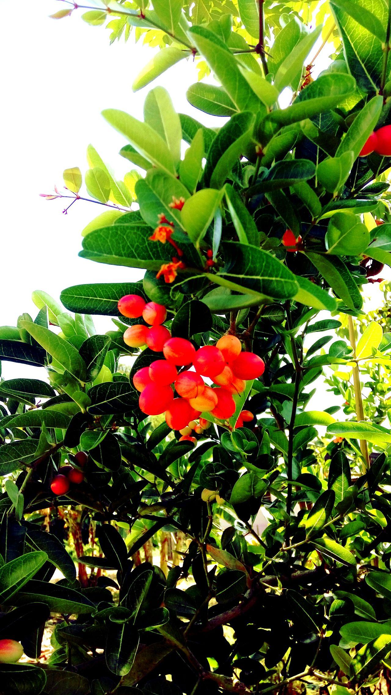 Nature Growth Freshness Asam Klendar Tree - Sweet And Sour , kota bharu, malaysia