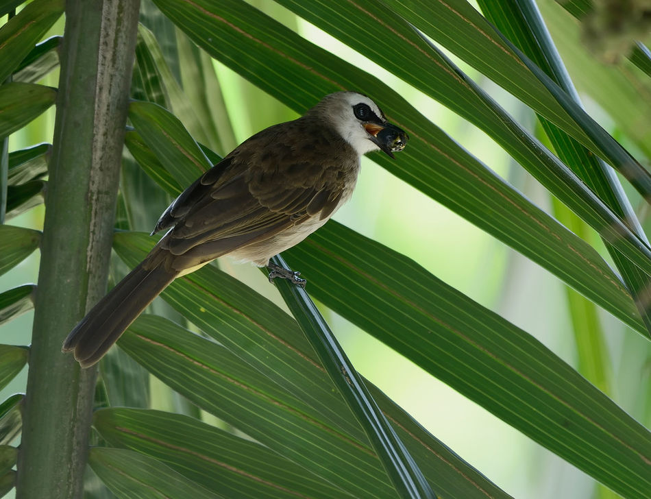 To eat alone or share says the Yellow Vented Bulbul Animal Animal Themes Beauty In Nature Bird Day Food In Mouth Green Color Growth Leaf Love Meal Time Nature Nritzz Perching Selective Focus Wildlife Yellow Vented Bulbul