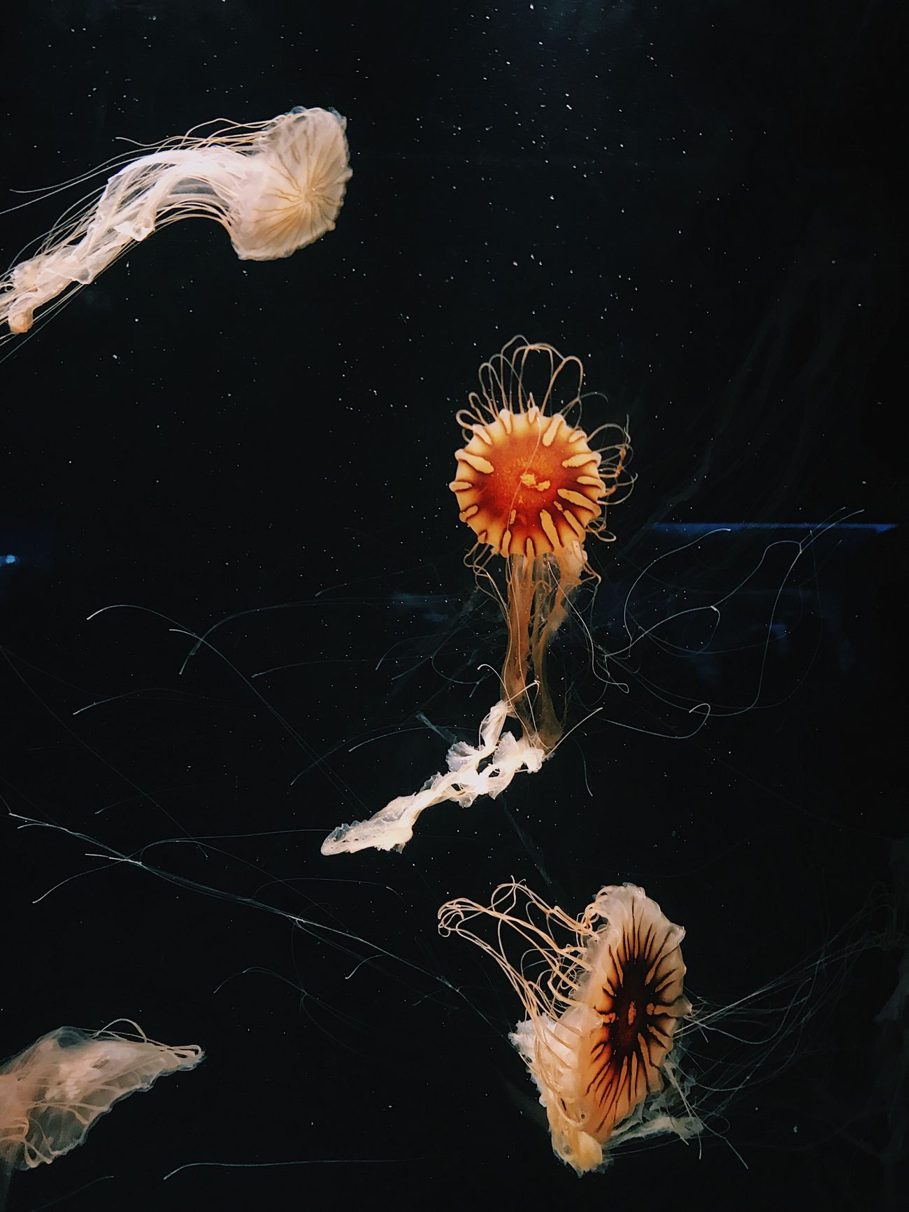 Jellyfish No. 6 Aquarium Jellyfish Sea Life Swimming Water Studio Shot Underwater No People Close-up Floating In Water Animals In The Wild Animal Themes Nature Beauty In Nature Indoors  Black Background UnderSea Day